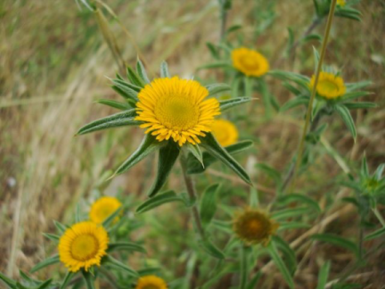 asteraceae pallenis spinosa